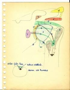 schouder anatomie 1kopieklein